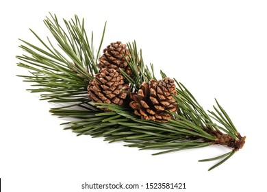 mugo pine branch  with cones isolated on white - Shutterstock ID 1523581421