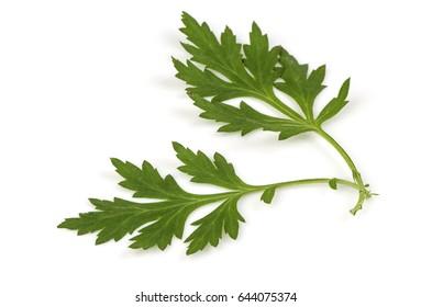 Mugwort (Artemisia vulgaris) has medicinal properties, on white background.