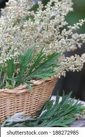 Mugwort - Artemisia vulgaris Nature Medicine