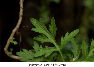 Mugwort  or Artemisia vulgaris,green leaves have property medicine.