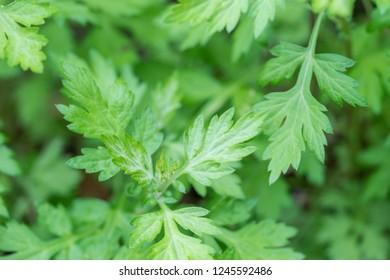 Mugwort green leaves