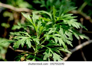 Mugwort green leaves on natural background.