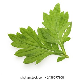Mugwort isolated on white background, two fresh leaves, top view