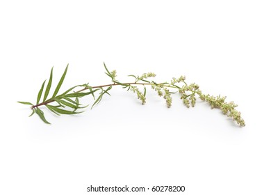 Mugwort,Artemisia vulgaris, herbal medicine on white background