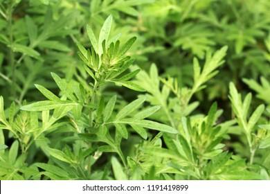 Mugwort's fresh leaves grow in the field (Artemisia argyi)