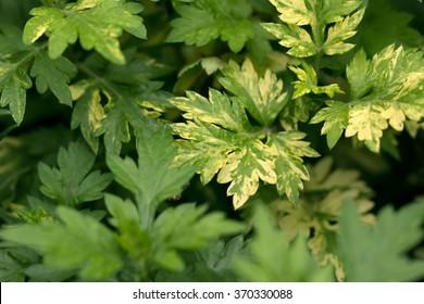 Mugwort's variegated leaves (Artemisia vulgare)