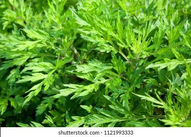 Mugwort's variegated leaves (Japanese mugwort)
