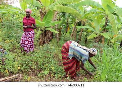 MUHANGA, RWANDA - CIRCA JULY 2016: Two Rwandan farmers busy working on the plantations in the village of Cyeza.