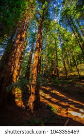 Muir Woods National Monument. National monument in Marin County, California. Wild Forest. USA.