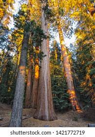 Muir woods national monument. San Francisco.