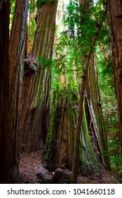 Muir Woods National Monument. Wild forest. San Francisco. California. USA.