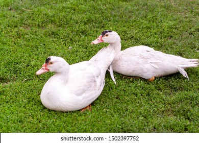 Mulard duck on green grass. Ducks with cropped beaks. Debeaking. An adult birds which has been beak-trimmed as a duckling.