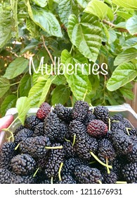 "Mulberries, Fresh organic just picked from mulberry tree, in container outdoors in front of mulberry tree bush, South Australia fruit spring harvest, ""Mulberries"" caption overlay"