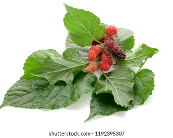 mulberries fruit and mulberry leaf on white background healthy mulberry fruit food isolated