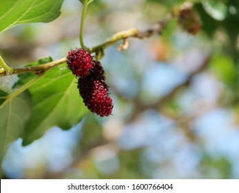 Mulberries on tree Mulberry is a healthy food. have a lot of antioxidants, fiber, vitamin C, Help lower cholesterol levels, good for skin.