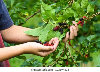 Mulberry in the boy hands