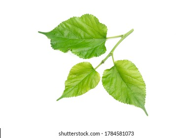 mulberry Branches with leaf isolated on white background.