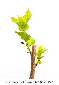 mulberry is breaking branches and new leaves after being cut. small tree on white background.