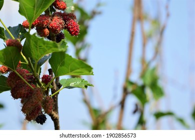 Mulberry in forest green leaf background