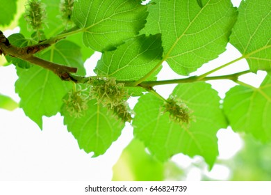 It is mulberry fruit.