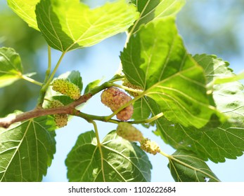 Mulberry fruit and green leaves on the mulberry tree