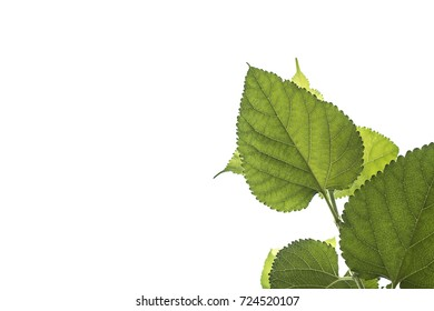 Mulberry green leaves on a white sky background