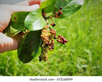 Mulberry in hand-holding. For a background