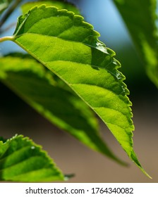 Mulberry leaf, backlit in closeup