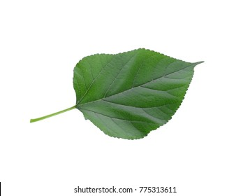 Mulberry leaf isolated on white background.