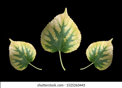 Mulberry leaf is nutrient deficiency form phosphorus, that is primary macro-nutrient with important for plant growth.