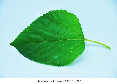 Mulberry, Mulberry leaf, White Mulberry,	Morus alba Linn., in Moraceae family, it's can use for several thing such as  it's  use for several things such as feeding silk worm or animals and so on.