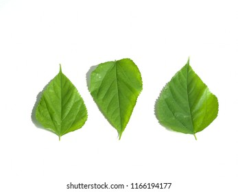Mulberry leaves isolated on over white background, ingredients for healthy tea.