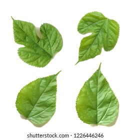Mulberry leaves isolated on over white background, with glare light, ingredients for healthy tea.