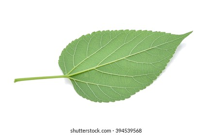 Mulberry leaves isolated on white