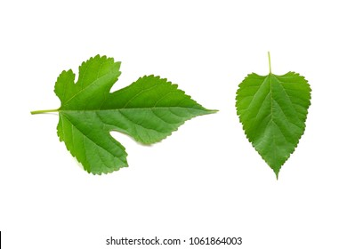 Mulberry leaves on a white background.