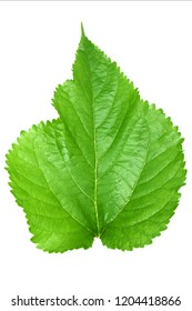 Mulberry leaves on white background.