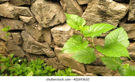 mulberry on background rock