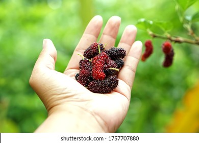 Mulberry on the hand blurred green background, Mulberry contains very high levels of anthocyanin, which helps to fight free radicals. Nourishes the eyes, makes the eye nerves good, mulberry Thailand.