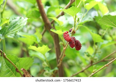 Mulberry on the tree blurred green background, Mulberry contains very high levels of anthocyanin, which helps to fight free radicals. Nourishes the eyes, makes the eye nerves good, mulberry Thailand.