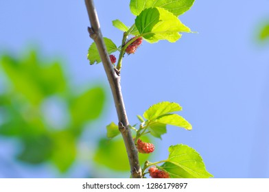 mulberry, mulberry plant or mulberry tree