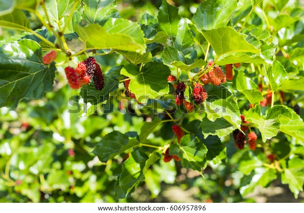 Mulberry Tree Small Deciduous Tree Broad Stock Photo Edit Now