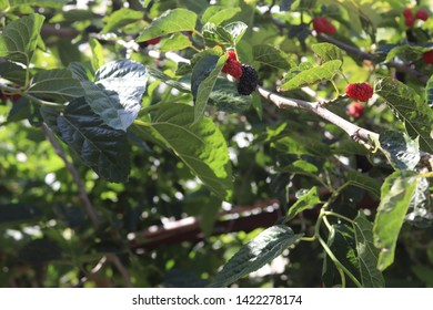 Mulberry tree. Fresh mulberry. Black ripe and red unripe mulberries on the branch. Red purple mulberries on tree.