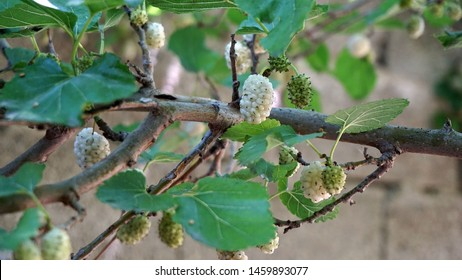 mulberry tree, fresh white mulberry, large amount of mulberry fruit in the tree,
