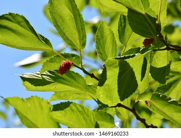 Mulberry tree and fruits. Black ripe and red unripe mulberries on the branch of tree. Healthy berry fruit. Delicious and fresh mulberries. One red mulberry on a tree with green leaves.