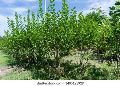 Mulberry Tree, Mulberry fruits, Morus (plant), Mulberry, Mulberries