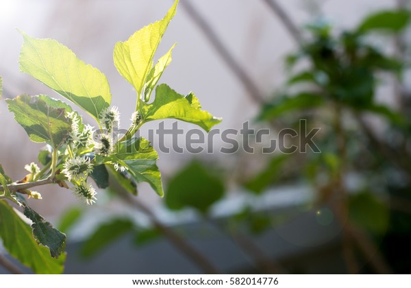 mulberry tree and leaf on natural garden