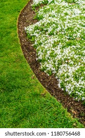 Mulched bed of snow-white creeping phlox (binomial name: Phlox subulata 'White Delight'), also known as moss phlox, by curve in green lawn, for themes of gardening, landscaping, spring