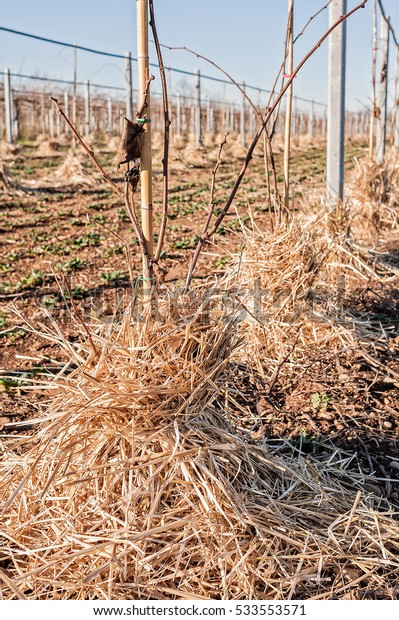 Mulching the roots of young trees of Kiwifruit with straw. Protection against frost of winter.