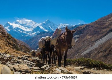 Mule caravan on Annapurna Circuit in Nepal