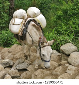 Mule carring goods from Lukla to Namche Bazar. Mount Everest National Park, Nepal.